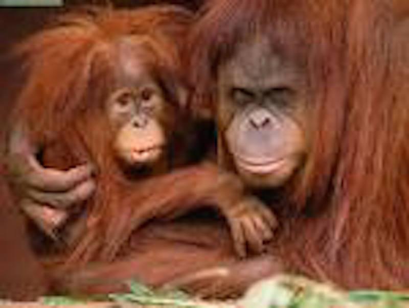 Mein Leben bei den Orang Utans – oder woher kommen wir?