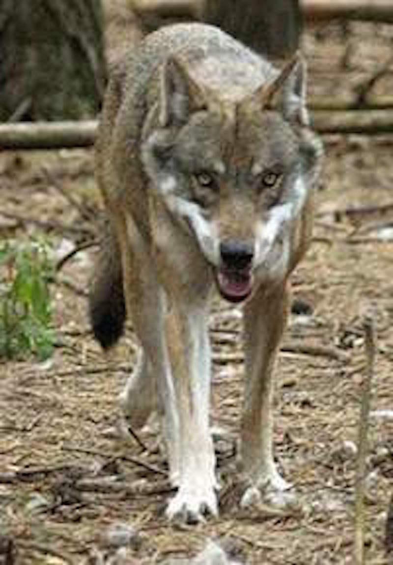 Wölfe in der Stadt
