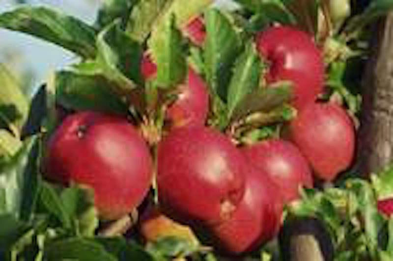 Von seltenen Äpfeln und Birnen
