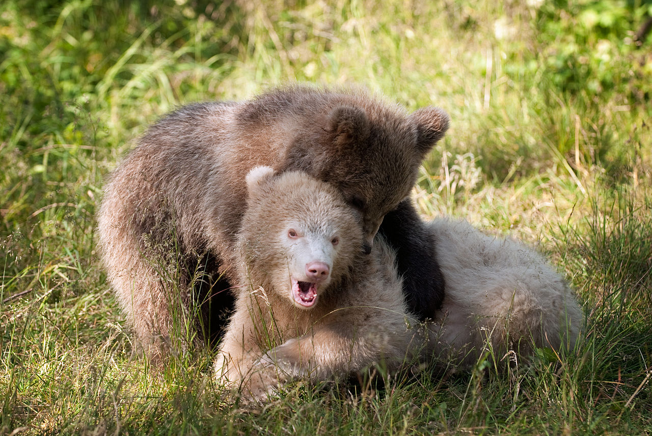 Bären in der Schweiz