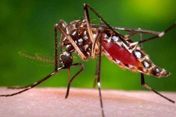 This 2006 photo provided by the Centers for Disease Control and Prevention shows a female Aedes aegypti mosquito in the process of acquiring a blood meal from a human host. On Friday, Jan. 15, 2016, U.S. health officials are telling pregnant women to avoid travel to Latin America and Caribbean countries with outbreaks of a tropical illness linked to birth defects. The Zika virus is spread through mosquito bites from Aedes aegypti and causes only a mild illness in most people. But there's been mounting evidence linking the virus to a surge of a rare birth defect in Brazil. (James Gathany/Centers for Disease Control and Prevention via AP)