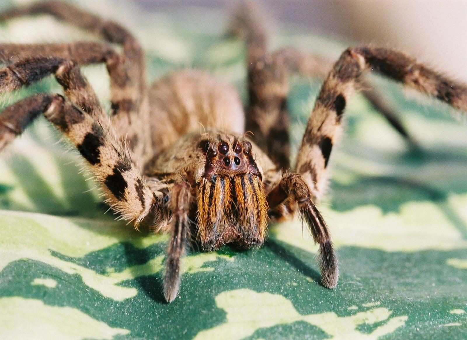 Spinnengift ist ein ganz besonderer Saft